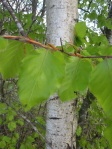 Silver Birch at Painswick Beacon